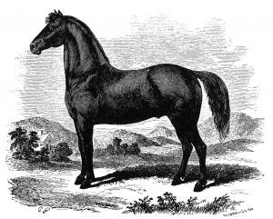 Figure could do it all. The foundation sire for the Morgan horse breed put his stamp on all his get. Image is linked to the official site for the whole story.