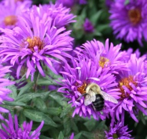 Asters attract bees.