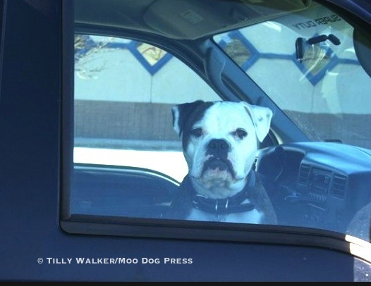 A dog in a truck.