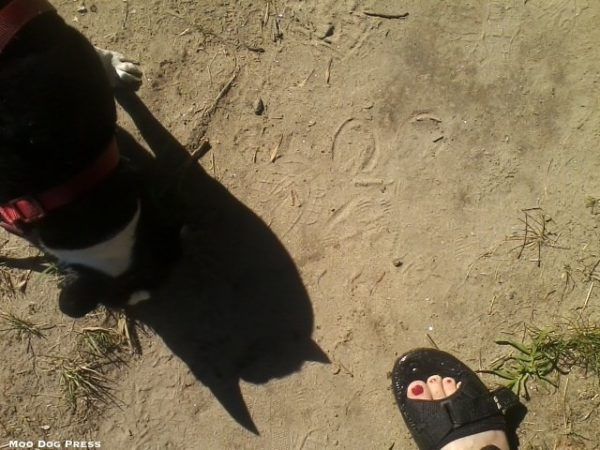 Boston terrier and pony tracks on a trail