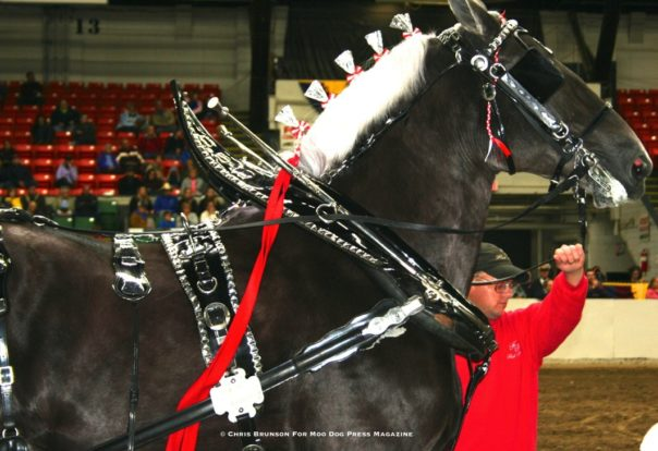 A draft horse in competition profile.