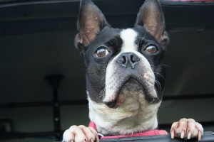 Chewy, a great dog, Boston terrier extraordinaire.