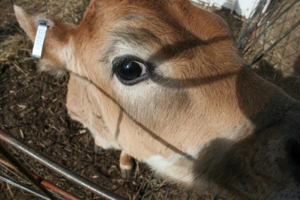 Calf eyes the camera - Moo Dog Press.