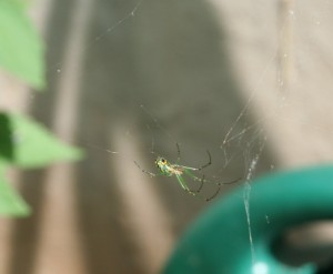 Green jewel of a spider, captured. Image. Moo Dog Press Magazine.
