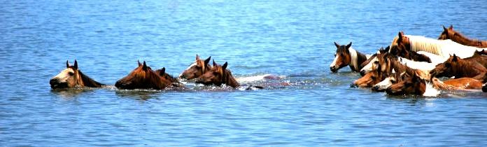 Chincoteague and Assateague Wild Ponies