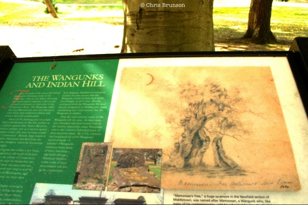 A huge old sycamore tree and the story behind it, rooted in the land - and a man who honored it.