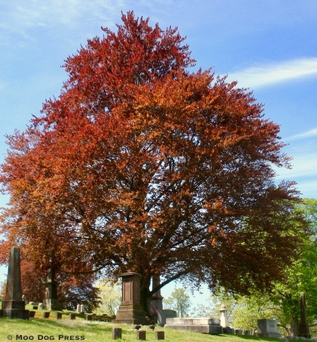 Copper beech at Indian Hill.