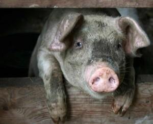 Muddy pig says hello through a fence. Photo Moo Dog Press
