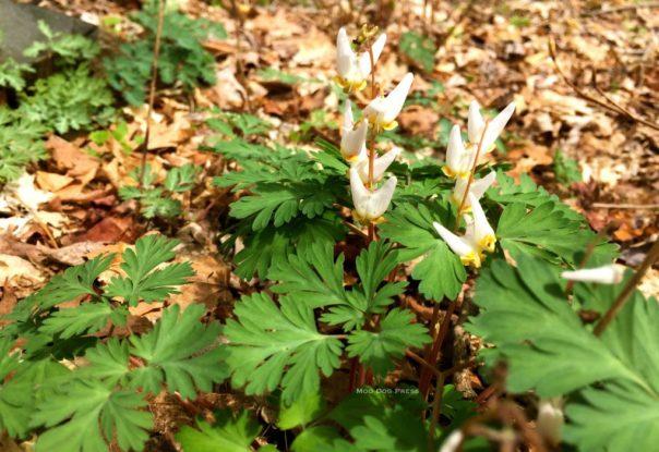 Dutchman's breeches or squirrel corn - a pretty little wildflower. CB/MDP