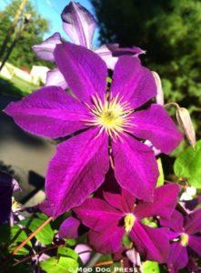 Clematis flower.