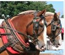 A portrait of working draft horses at an agricultural fair by Moo Dog Press Magazine.