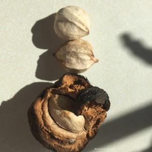 Shagbark hickory nuts, picked and in in the husk (shown at bottom).