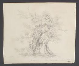 Mamoosan Tree drawing.